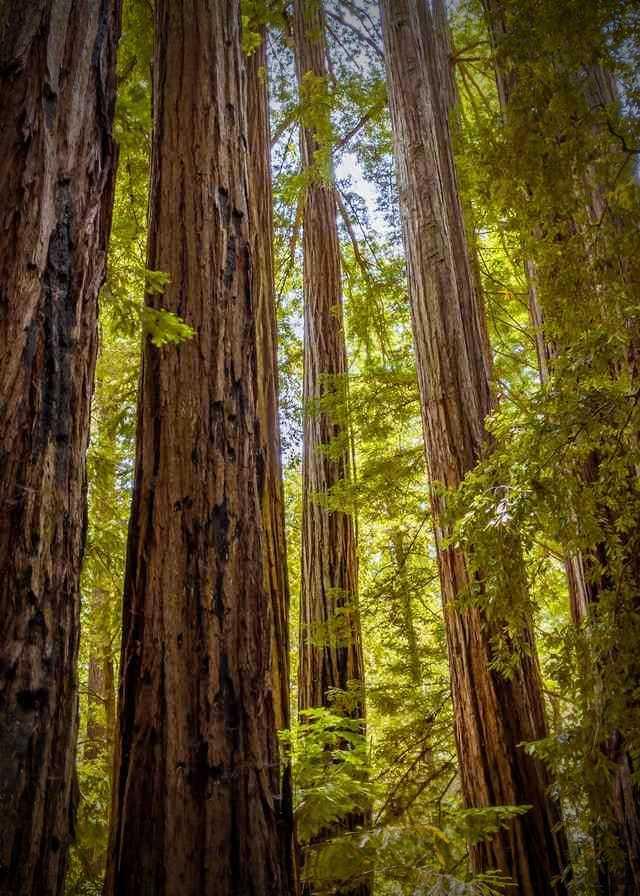 closeup of redwood trees